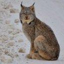 Wildcat90